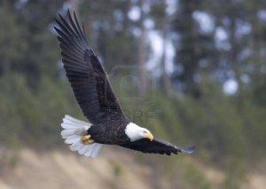 6079915-un-aguila-calva-con-sus-largas-alas-en-vuelo